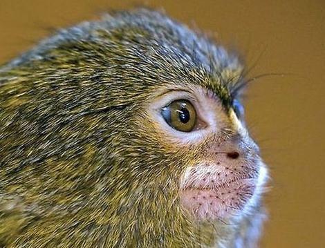 濒临绝种的可爱指猴