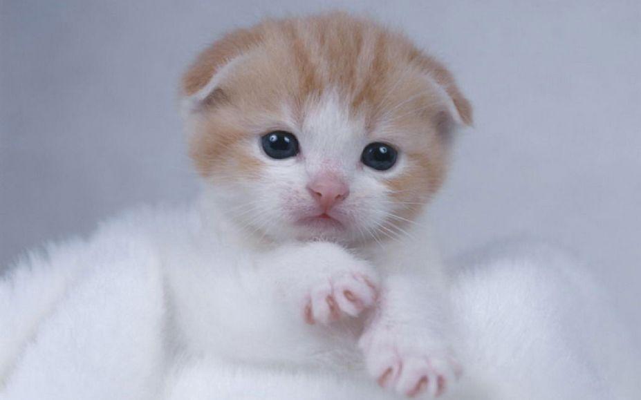 可爱的苏格兰折耳猫高清电脑桌面壁纸