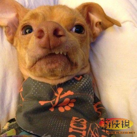 长着猪鼻子的狗 这汪汪前世是被二师兄亲过么?
