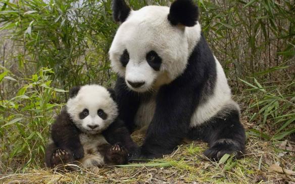 国宝熊猫可爱高清壁纸