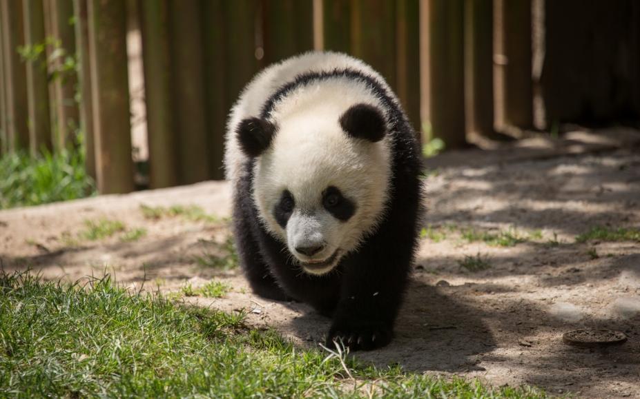国宝熊猫可爱高清壁纸图片(2)
